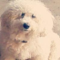 Bichon Frise Puppies for Sale in Virginia - Adoptapet com