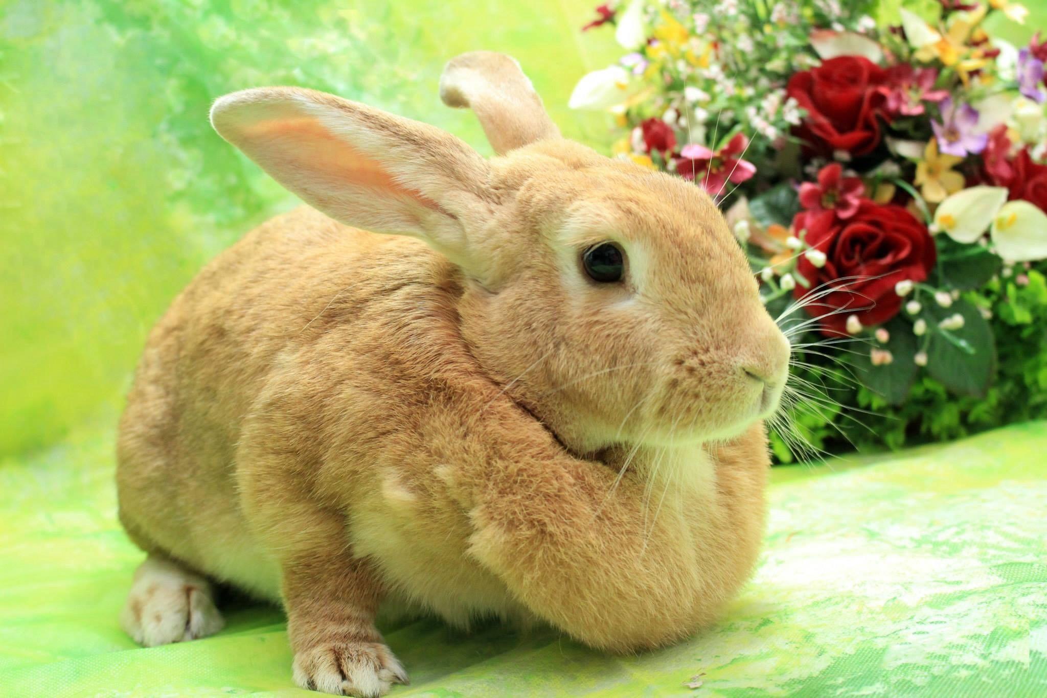 Wilmington Nc Flemish Giant Meet Jessie A Pet For Adoption