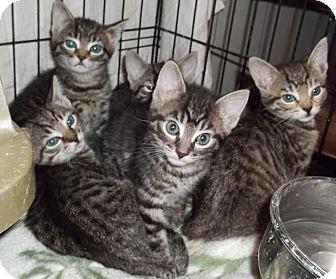Domestic Shorthair Kitten for adoption in Acme, Pennsylvania - Tiger Kittens