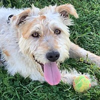 Cockapoo Puppies For Sale In Oregon Adoptapet Com