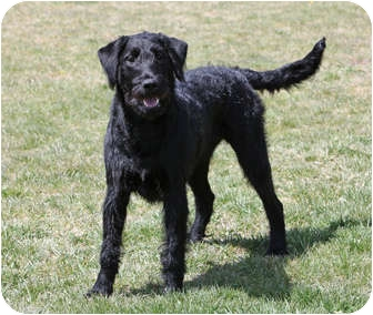 Portland, OR - Airedale Terrier. Meet Lola a Dog for Adoption.