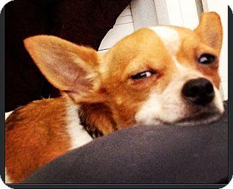 Pinecrest Fl Toy Fox Terrier Meet Sandro A Pet For Adoption