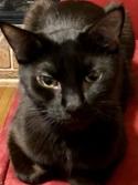 Adopt a Pet :: Rachel - Hopkins, SC -  Domestic Shorthair/Domestic Shorthair Mix