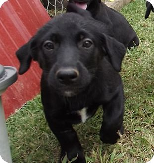 Dog Puppies For Sale Knoxville Tn