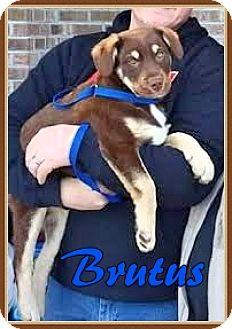 Australian Cattle Dog Mix Puppy for adoption in Ahoskie, North Carolina - Brutus