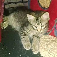 Adopt A Pet :: Will Strut - Gaithersburg, MD