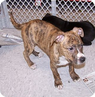 Concord Nc Pit Bull Terrier Meet Timber A Pet For Adoption