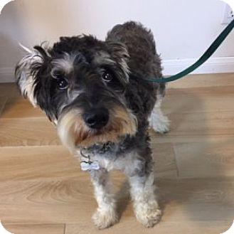 Schnauzer (Miniature) Dog for adoption in Redondo Beach, California - McGee