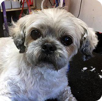 Shih Tzu Dog for adoption in Tijeras, New Mexico - Tyler