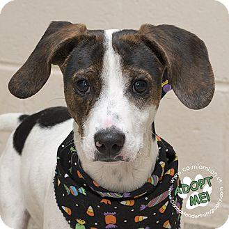Hound (Unknown Type) Mix Puppy for adoption in Troy, Ohio - Hudson-URGENT