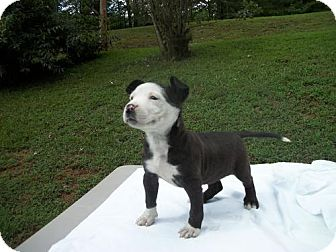 Marion Nc Pit Bull Terrier Meet Pandy Lynn A Pet For Adoption