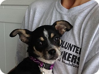 Reno Nv Boston Terrier Meet Ellys A Pet For Adoption
