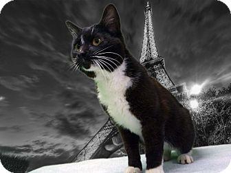 Domestic Shorthair Cat for adoption in New Castle, Pennsylvania - Clark