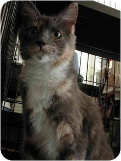 Maine Coon Cat for adoption in Fort Lauderdale, Florida - Terra