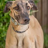 Adopt A Pet :: Watts - Walnut Creek, CA