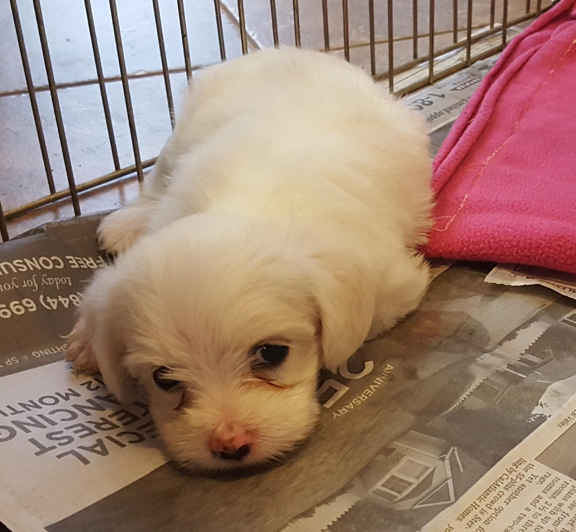 Temecula Ca Havanese Meet Havanese Mix Litter A Pet For Adoption