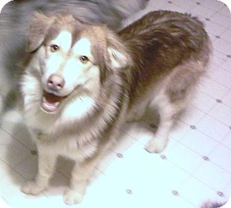 Horsham Pa Siberian Husky Meet Tony A Pet For Adoption