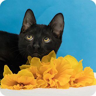 Domestic Shorthair Kitten for adoption in Houston, Texas - Hendrix