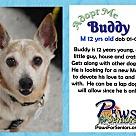 Adopt A Pet :: Buddy (JRT)