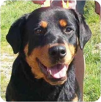 Goldendale, WA - Rottweiler  Meet Sassy a Pet for Adoption