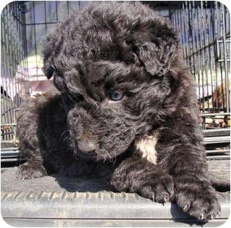 Fairmount Ga Poodle Miniature Meet Costello A Pet For