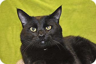 Domestic Shorthair Cat for adoption in Foothill Ranch, California - Brody
