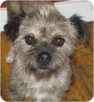 Border Terrier/Terrier (Unknown Type, Small) Mix Dog for adoption in Chicago, Illinois - Scruffy