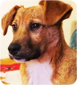 Golden Retriever Mix Puppy for adoption in Philadelphia, Pennsylvania - Angus