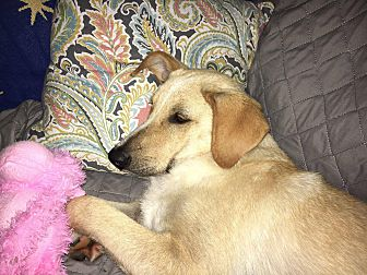 Adopt A Pet :: Joey  - Snow Hill, NC