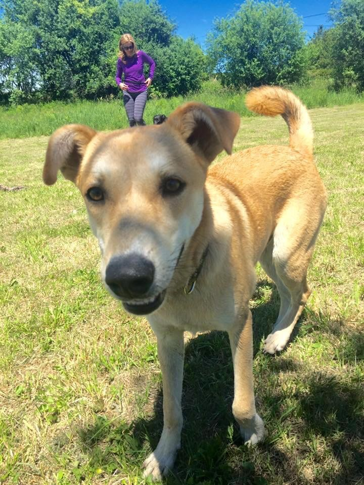Ottawa, ON - Basenji  Meet Puzzle a Pet for Adoption