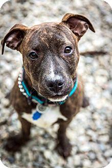 Terrier (Unknown Type, Medium) Mix Puppy for adoption in Tinton Falls, New Jersey - Zepplin