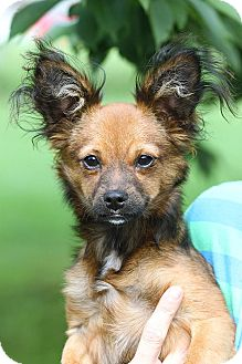 Chihuahua/Papillon Mix Puppy for adoption in East Hartland, Connecticut - Titan