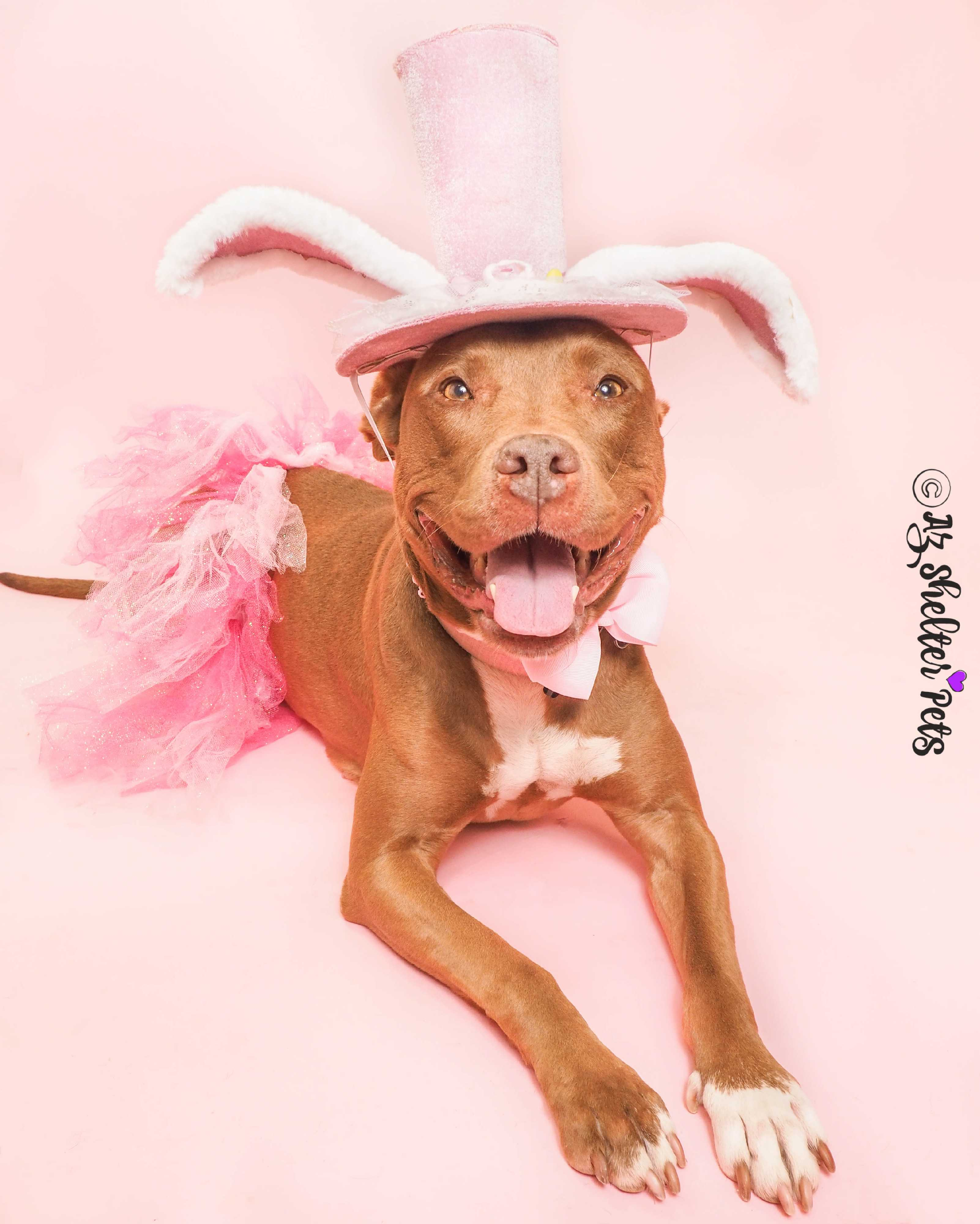 Phoenix, AZ - American Pit Bull Terrier  Meet CinnaBunny a Pet for