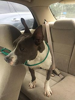 Pit Bull Terrier/Rat Terrier Mix Dog for adoption in Manhattan, New York - PeeWee