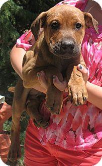 Great Dane/Labrador Retriever Mix Puppy for adoption in Corona, California - GREAT DANE-LAB PUPS A