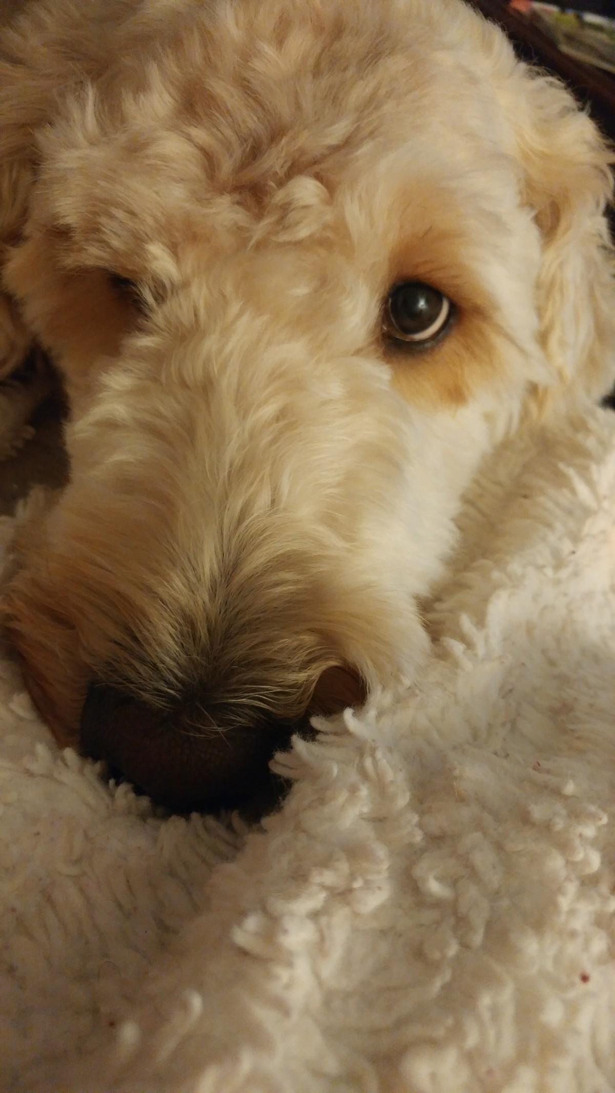 Charlotte Nc Goldendoodle Meet Stoney A Pet For Adoption