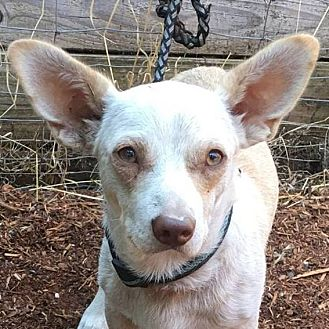 Chihuahua/Dachshund Mix Puppy for adoption in Rogue River, Oregon - Mr Ernie