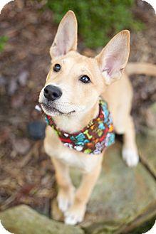 Raleigh, NC - Basenji  Meet Tonks a Pet for Adoption