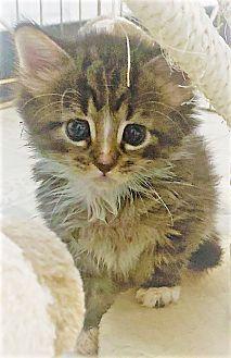 Adopt A Pet :: Beau  - Dumfries, VA