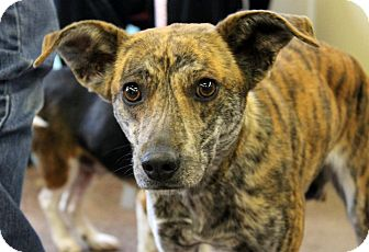 Buffalo Ny Whippet Meet Liana 9 Months A Pet For Adoption