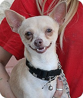 Palmdale, CA - Chihuahua. Meet Donnie a Dog for Adoption.