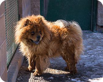 Winnipeg Mb Chow Chow Meet Sammy A Pet For Adoption