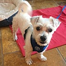 Adopt A Pet :: Scottie