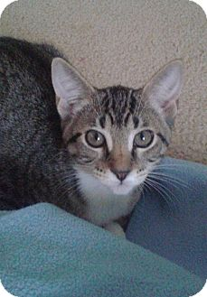 Domestic Shorthair Kitten for adoption in Schertz, Texas - Missy RA