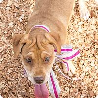 Seneca, SC - American Staffordshire Terrier. Meet Hope - $250 a Dog for Adoption.