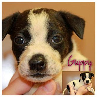 Garden City, MI - Border Collie  Meet Guppy a Pet for Adoption
