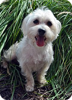 Maltese/Poodle (Miniature) Mix Dog for adoption in Bridgeton, Missouri - Colby-Adoption pending
