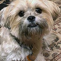 Jacksonville, FL - Shih Tzu  Meet Casper a Pet for Adoption