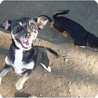 Adopt A Pet :: Chynna - West Hills, CA