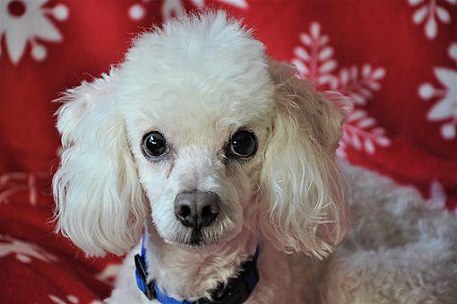 Lebanon Tn Poodle Miniature Meet Casper A Pet For